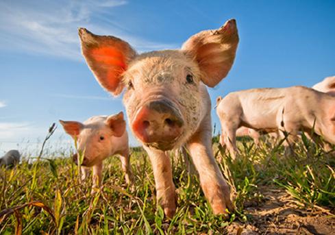 bicom-corporate-idena-marque-cochon-agro-alimentaire